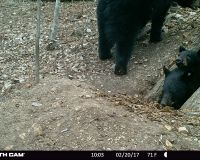 Two yearlings emerging from Bear 1002's den.