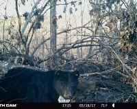 Bear 1016 Standing in front of her den