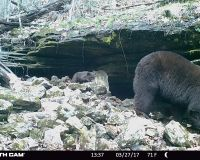 Bear 1102 and one cub standing in front of her den under a rock ledge.
