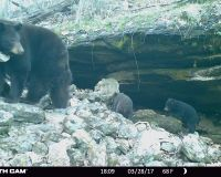 Bear 1102 and 2 cubs leaving their rock ledge den.