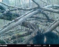 Bear 1103 sitting in front of her den while her cub climbs a tree.