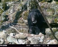 Bear 1112 and one cub standing in front of her den, a small cave.
