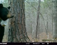 Bear 1623 standing in front of a tree near her den.