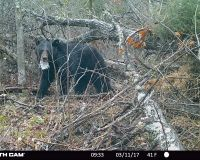 Bear 1530 leaving her brush pile den.