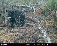 Bear 1530 walking away from her brush pile den.