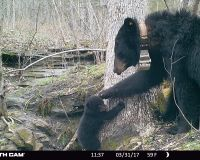 Bear 1616 and one cub in front of their den. Bear 1616 is pawing the cub's head as it stands against a tree.