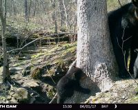 Bear 1616 and two cubs sitting in front of their den. One cub is climbing the base of a tree while the other cub is sitting next to the sow.