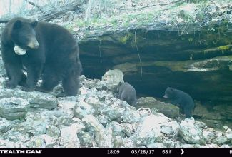 female black bear with 2 newborn cubs