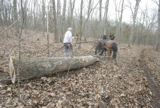 Logging the old-fashioned way - by horse!