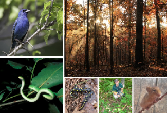 Clockwise from upper right- indigo bunting, Site 6 sunrise, golden mouse, ground flora quadrat, spotted salamanders, rough green snake