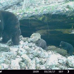 female black bear with 2 newborn cubs