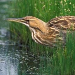 Picture of American Bittern in vegetation